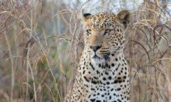 A wild leopard looks on in the wild bush