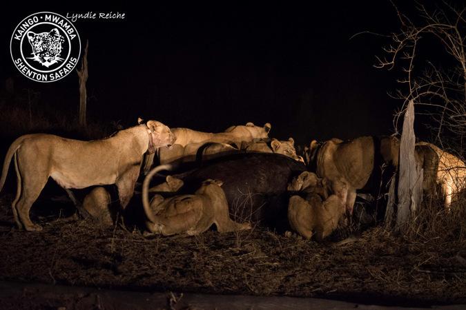 lions, buffalo kill, Mwamba Bush Camp, South Luangwa National Park, Zambia