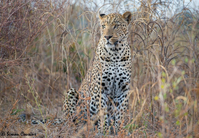 A leopard in the wild with Robin Pope Safaris © Simon Cousins