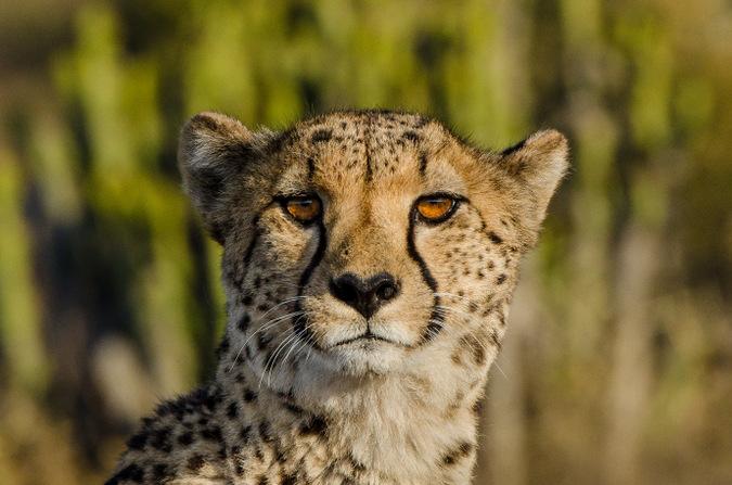 cheetah, eyes, big cat, wildlife, South Africa