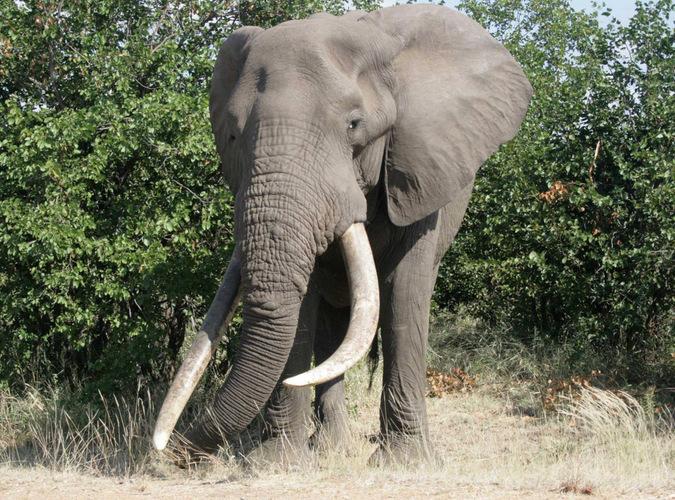 elephant, wildlife, Kruger National Park, South Africa