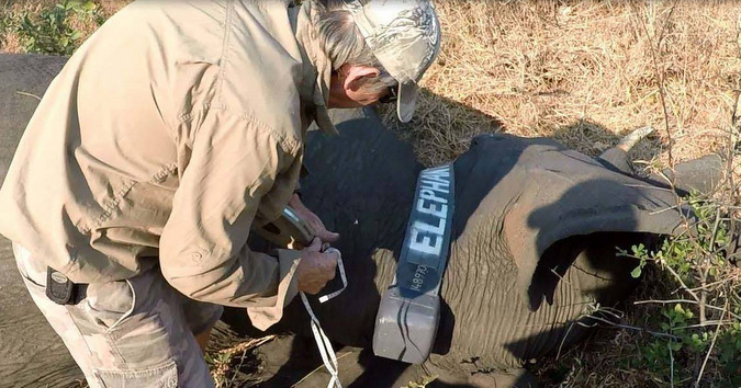 Checking a collar is attached properly on an elephant in Kavango Zambezi Transfrontier Conservation Area in Zambia