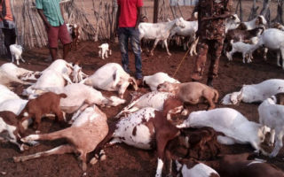 A number of goats dead after lions attacked