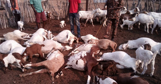 The goats that were killed by the escaped lions in Namibia
