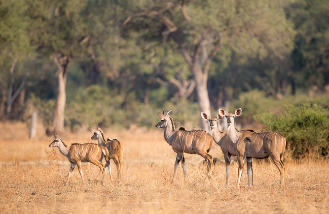 kudu, photographic safari, wildlife photography, Nsefu Sector, South Luangwa National Park, Zambia