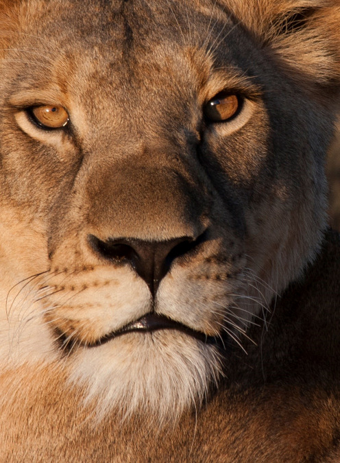 lion, portrait, wildlife