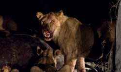 lion, buffalo kill, Mwamba Bush Camp, South Luangwa National Park, Zambia