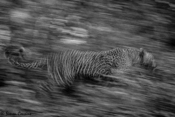 A leopard runs through the bush with Robin Pope Safaris © Simon Cousins