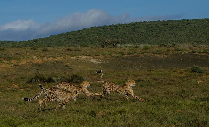 three cheetah, wildlife, big cat, South Africa
