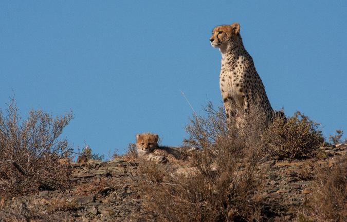 cheetah and cub, big cat, wildlife, South Africa