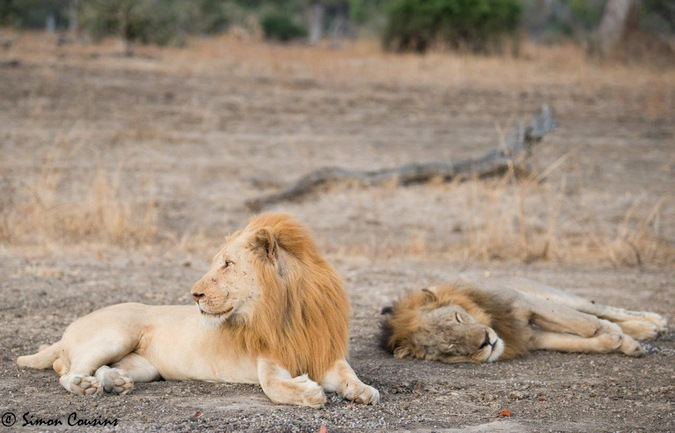 Two lions chilling in the wild with Robin Pope Safaris © Simon Cousins
