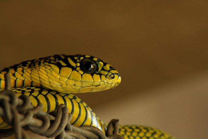 boomslang, reptile, snake, eyes