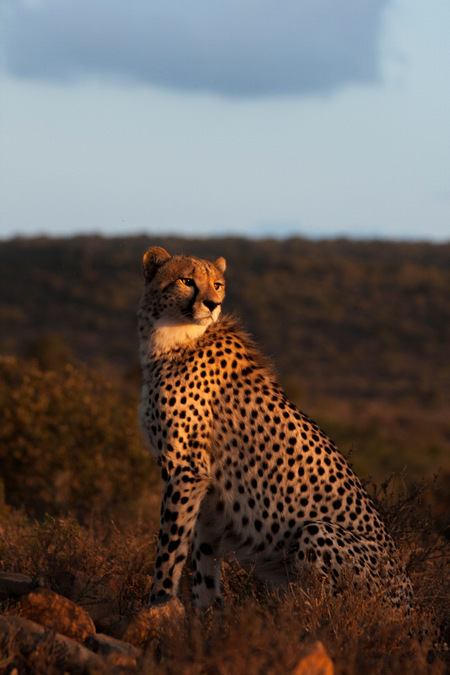 cheetah, big cat, wildlife, South Africa