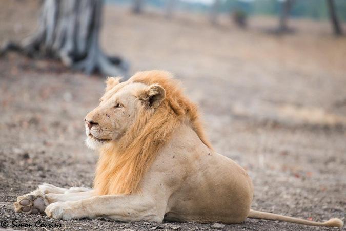 A lion relaxes with Robin Pope Safaris © Simon Cousins