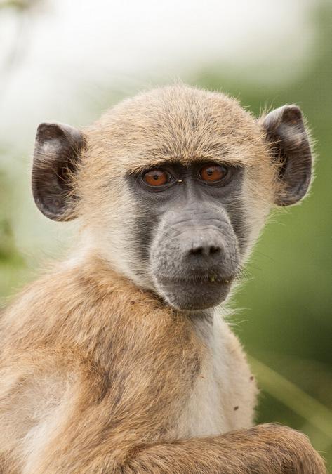 baboon, primate, eyes