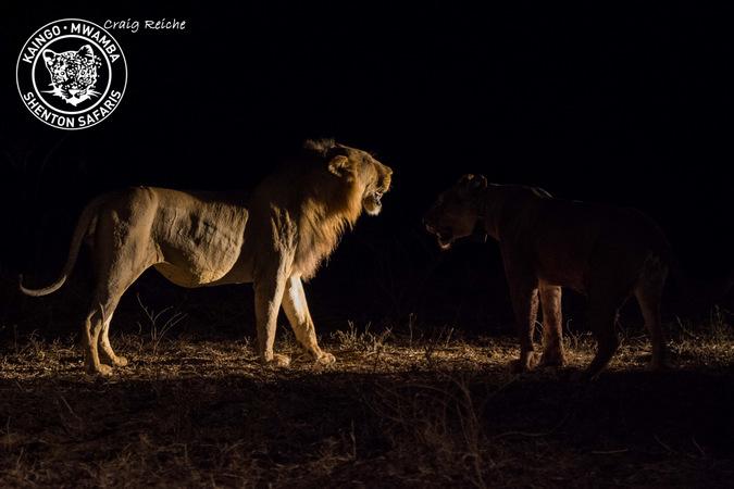 male lion, Mwamba Bush Camp, South Luangwa National Park, Zambia