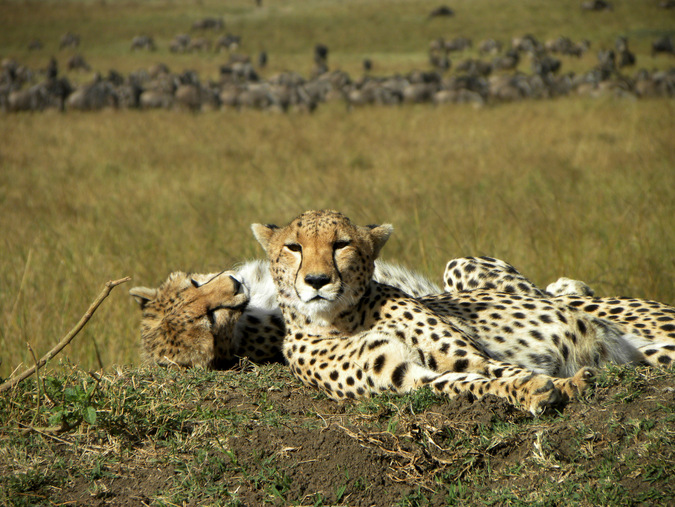 Cheetah relax in the Maasai Mara in Kenya © Mark Smeltz