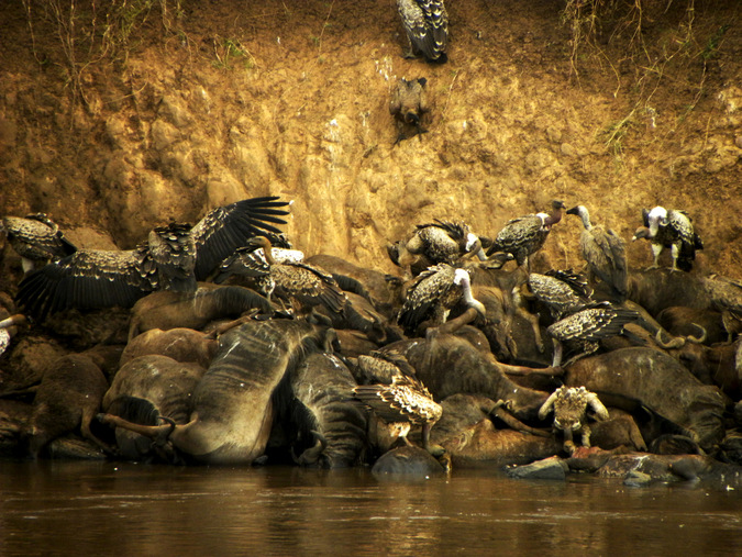 Vultures feast on the remains of fallen wildebeest in the Maasai Mara © Mark Smeltz