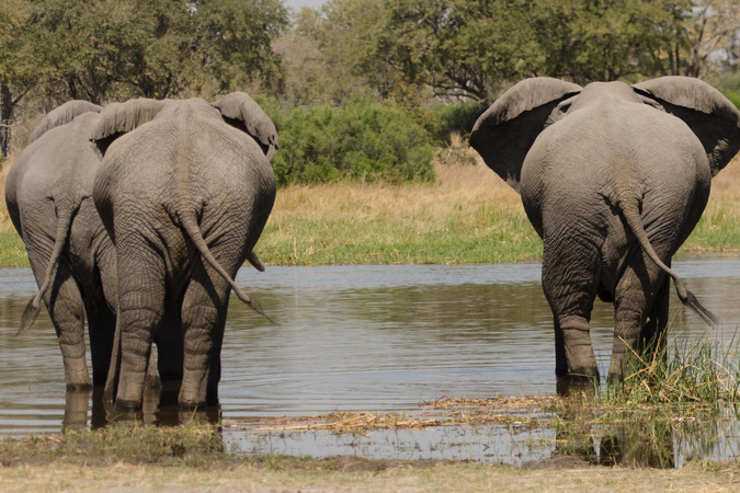 Three elephants make their way through the waters of the Okavango Delta in Botswana