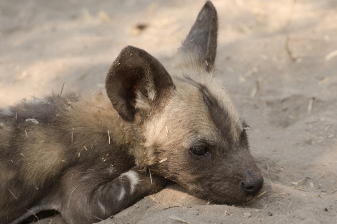 A young wild dog pup in the Okavango Delta, Botswana