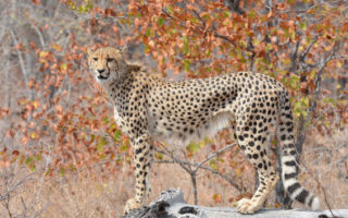 a cheetah posing in the bush, Klaserie Private Nature Reserve, Greater Kruger, South Africa
