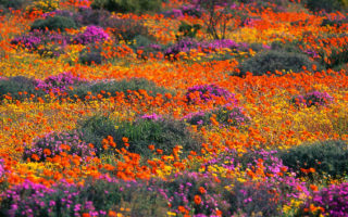 Flowering namaqua daisies, Goegap Nature Reserve, Namaqualand, South Africa