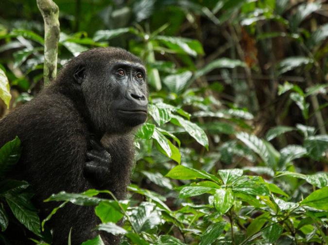 Western lowland gorilla, primate, safari, Odzala-Kakoua National Park, Congo