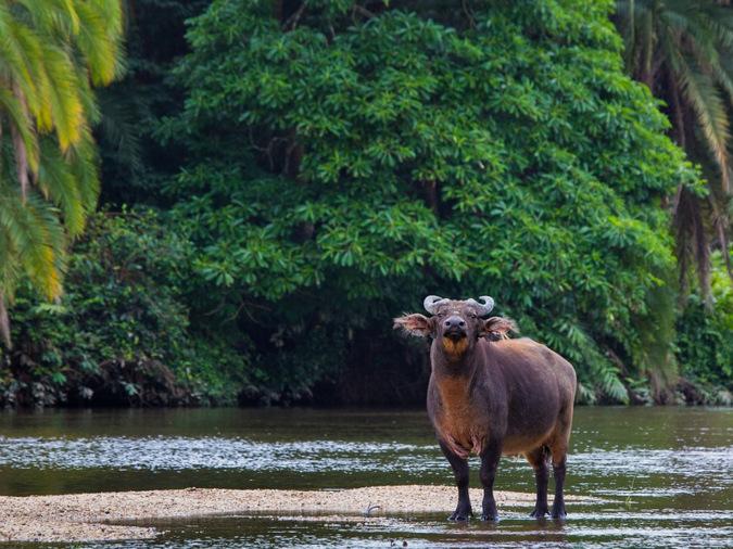 forest buffalo, wildlife, safari, Odzala-Kakoua National Park, Congo © Odzala