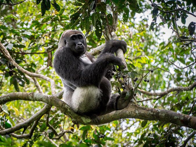 Silverback lowland gorilla, wildlife, primate, Odzala-Kakoua National Park, Congo