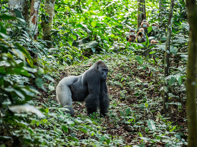 Silverback lowland gorilla, primate, wildlife, Odzala-Kokoua National Park, Congo
