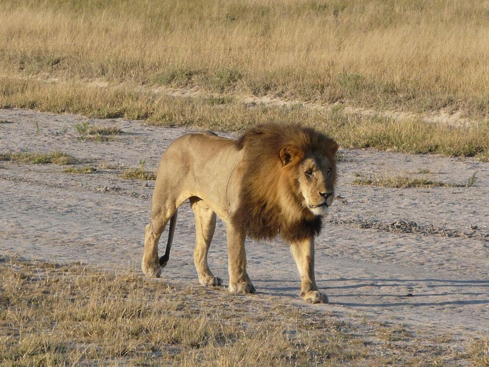 lion, male, walking, African safari, big 5 animal