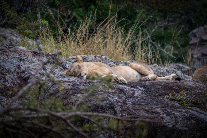 lion, sleeping, rock, wildlife, South Africa