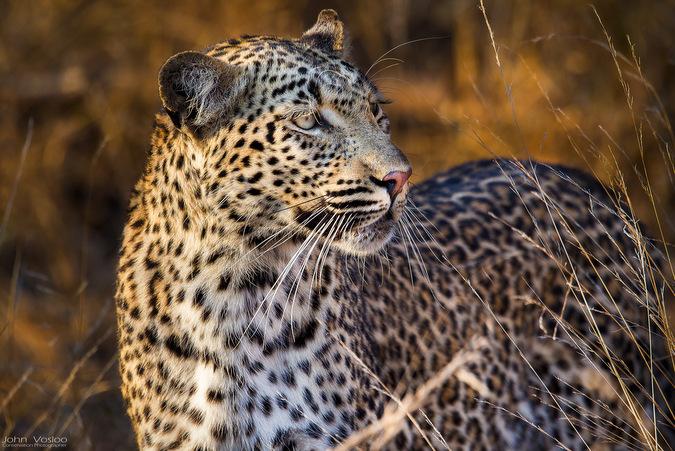 leopard, wildlife, big cat, safari, Djuma, Sabi Sands Game Reserve, South Africa © John Vosloo