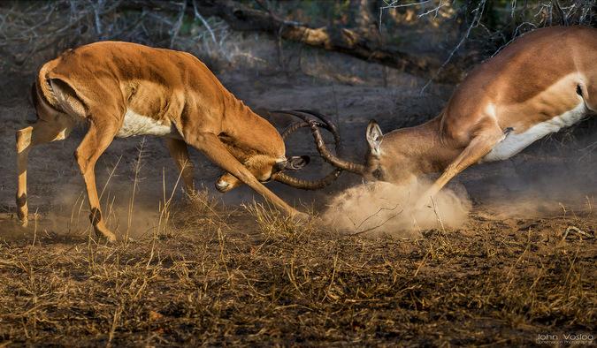 antelope, wildlife, safari, Djuma, Sabi Sands Game Reserve, South Africa © John Vosloo