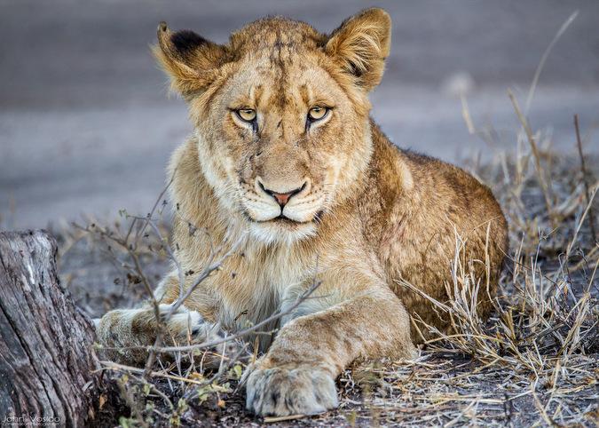 lion, wildlife, big cat, Djuma, Sabi Sands Game Reserve, South Africa © John Vosloo