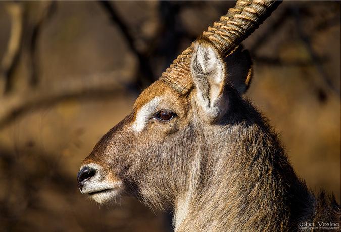 waterbuck, antelope, wildlife, safari, Djuma, Sabi Sands Game Reserve, South Africa © John Vosloo