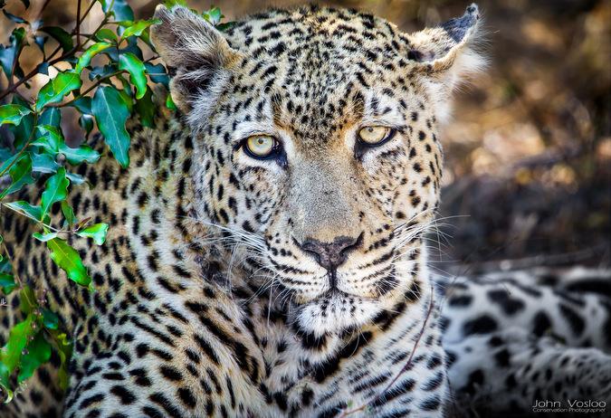 leopard, big cat, Big 5, wildlife, safari, Djuma, Sabi Sands Game Reserve, South Africa © John Vosloo