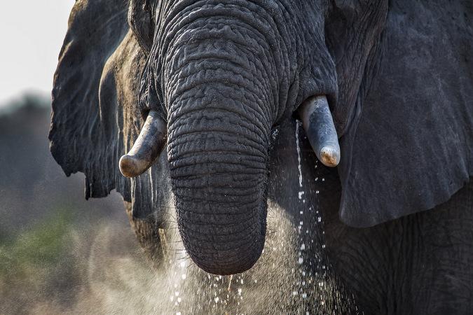 elephant, wildlife, big 5, safari, Djuma, Sabi Sands Game Reserve, South Africa © John Vosloo