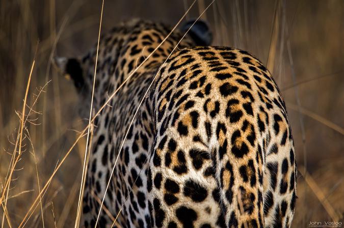 leopard, wildlife, big cat, big 5, safari, Djuma, Sabi Sands Game Reserve, South Africa © John Vosloo
