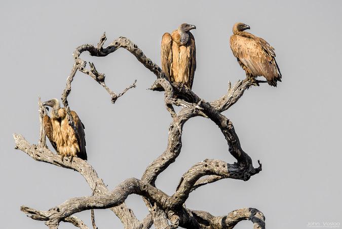 vultures, bird, wildlife, safari, Djuma, Sabi Sands Game Reserve, South Africa © John Vosloo