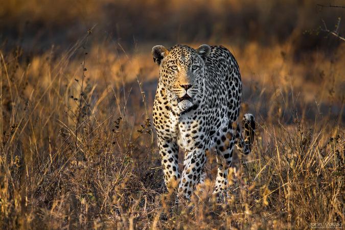 leopard, big cat, wildlife, safari, Djuma, Sabi Sands Game Reserve, South Africa © John Vosloo