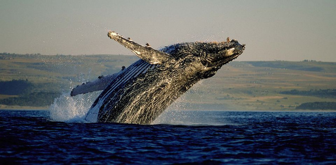 southern right whale, ocean, marine life, mammal, Hermanus, South Africa