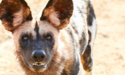 A wild dog in South Luangwa National Park, Zambia