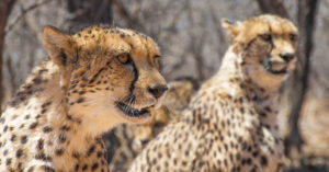 A pair of cheetah in South Africa
