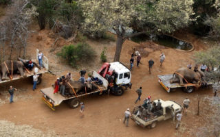 The three bull elephants relocated on flatbed trucks out of the farmlands in Limpopo Province, South Africa