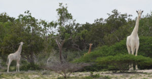 The white giraffes in Kenya © Hirola Conservation Program