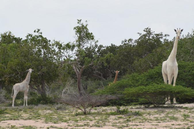 The white giraffes in Kenya © Hirola Conservation Program