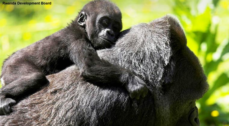mountain gorilla, forest, Rwanda