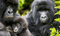 A baby mountain gorilla with family in Rwanda