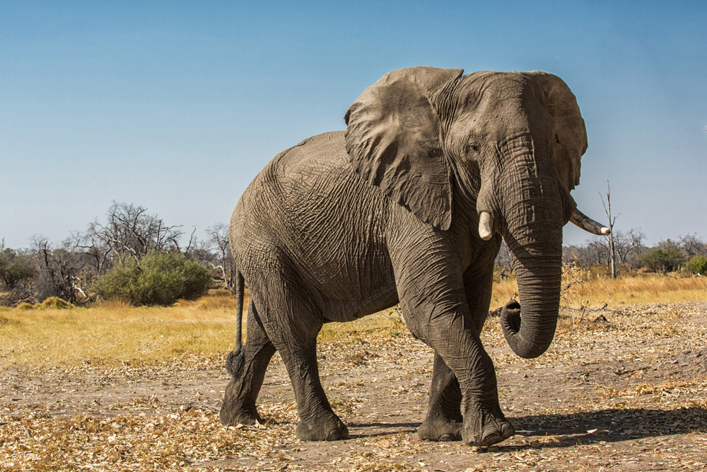 An elephant in the Khwai concession, Botswana